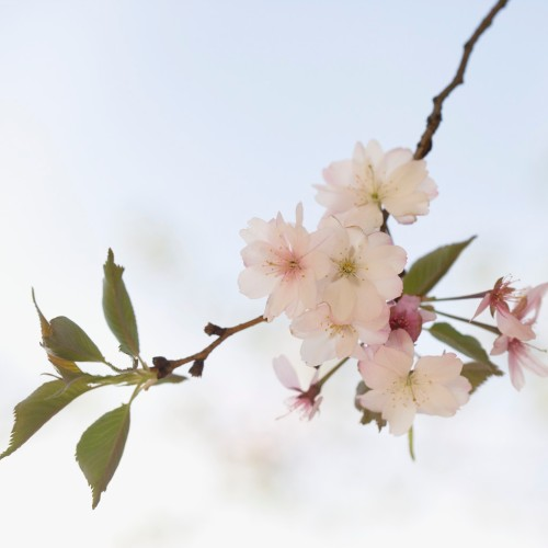 Blossoms on Branch